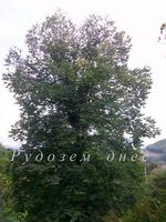 За историята и лечебното действие на вековното дърво в Оглед