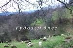Глутница вълци взеха пореден кръвен данък от стадото в село Поляна