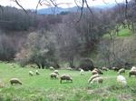 След вълчия курбан и държавата отхапа от стадото на родопски овчар