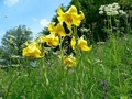 Критично застрашен растителен вид все още краси ливади край Рудозем