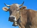Раздават 30 крави за Курбан Байрям