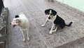 Гласът на опозицията:  Какво ще правим с бездомните кучета?