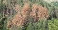 Приоритет за ЮЦДП – Смолян през следващата година ще бъде постоянното наблюдение на короядните площи и усвояването на короядната дървесина
