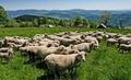 Овчар задигна кон и две агнета от село Поляна