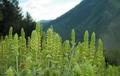 Забраниха събирането на мурсалски чай от естествени находища
