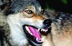 Вълци убиха десетки овце в село Поляна